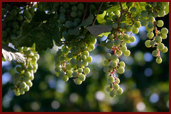grapes, vines, vineyards, winery, paso robles